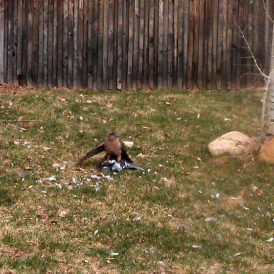 Hawk killing a pigeon